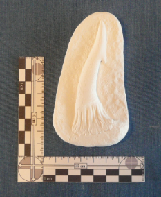 Onchopristis Tooth Cast